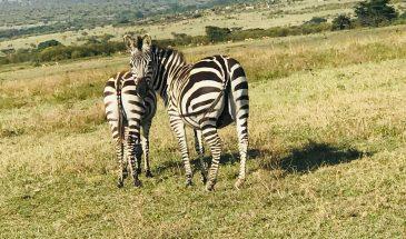 7 Days Amboseli, Nakuru and Maasai Mara Safari